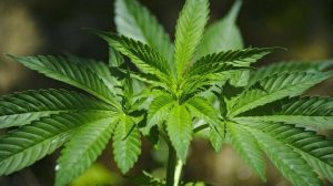 Infosalud.com - Europa concluye que el uso medicinal del cannabis no tiene efectos secundarios graves pero que no siempre es efectivo